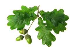 oak leaves - isolated
