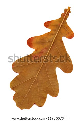 Oak leaves -  isolated object on a white background. Use printed materials, signs, objects, websites, maps, posters, postcards, packaging. #1195007344