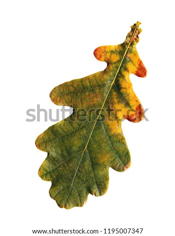 Oak leaves -  isolated object on a white background. Use printed materials, signs, objects, websites, maps, posters, postcards, packaging. #1195007347