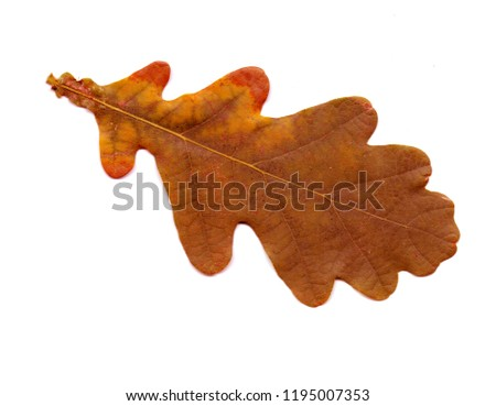 Oak leaves -  isolated object on a white background. Use printed materials, signs, objects, websites, maps, posters, postcards, packaging. #1195007353