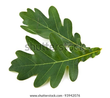 oak leaves on a white background