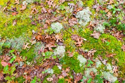Oak leaves on green and yellow moss ground in forest in  autumn. Natural background.