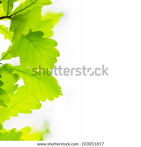 Oak leaves on the left side of white background