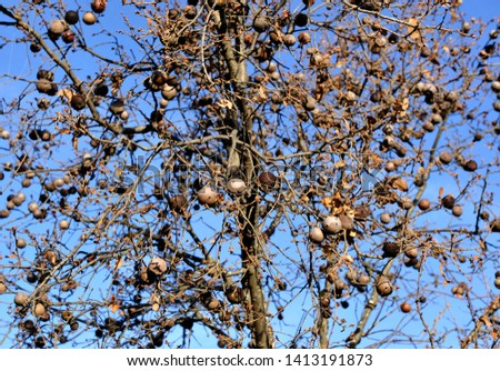 Oak loaded with oak-apple (agallas) in the Natural Park of the Valley of Alcudia and Sierra Madrona, province of Ciudad Real, central Spain #1413191873