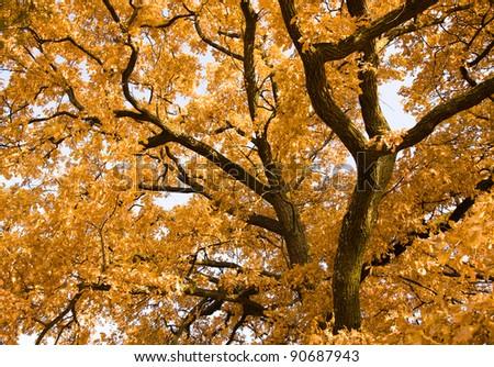 Oak part (the turned yellow foliage) in an autumn season