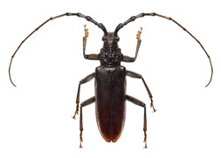 Oak pest - Great capricorn beetle (Cerambyx cerdo) isolated on a white background