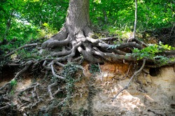 oak, roots, trunk, zuid-limburg, mergel, marlstone, netherlands