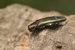 Oak splendour beetle, also known as the oak buprestid beetle or two-spotted oak borer in its natural environment. A comon beetle species occurring in European oak forests.