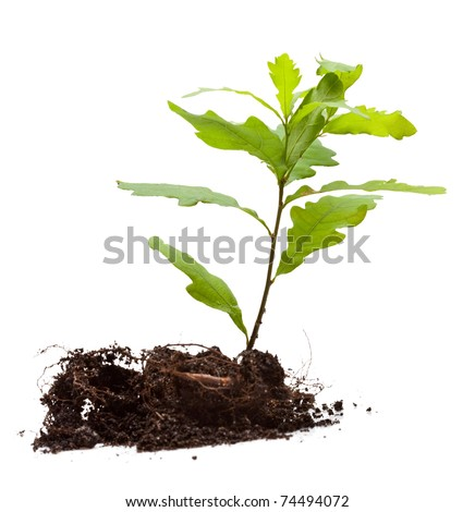 Oak sprout in earth pile isolated on white