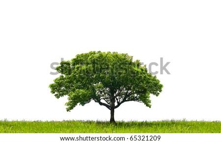Oak tree #65321209