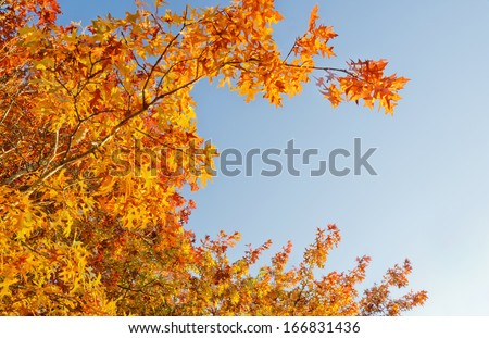 Oak tree arched branches with brilliant gold and red leaves. A blue sky in background lit by sunlight./Brilliant gold leaves in Autumn sun with blue sky