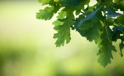 Oak tree branch in spring