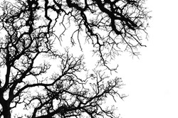 Oak tree branches silhouette. Black and white.