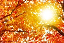 Oak tree branches with yellow leaves on blue sky and bright sunlight background, golden autumn sunny day nature, fall season orange forest, autumnal landscape, red trees crowns in sun glow, copy space