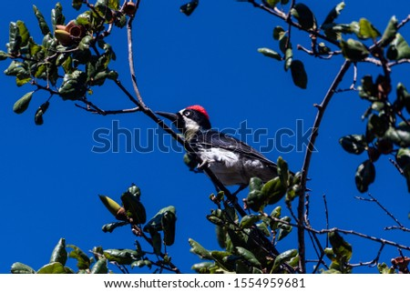 Oak Tree full of Acorns is perfect place for Acorn Woodpecker to perch and forage food against the Autumn blue sky. #1554959681