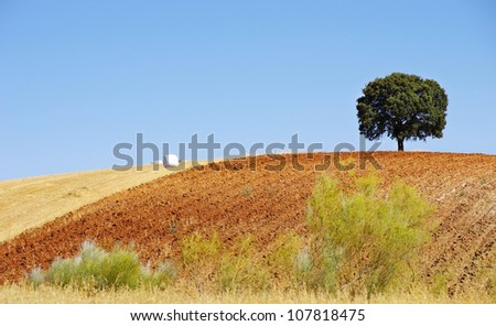 Oak tree  in a field , Alentejo, Portugal