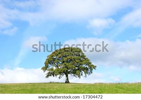 Oak tree in a field in summer set against a blue sky with alto cumulus clouds.