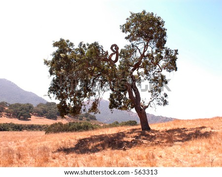 Oak tree in a golden field in the hills with an expressive shape.
