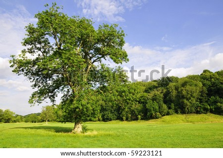 Oak Tree in a Green Field with a Forest in the Background