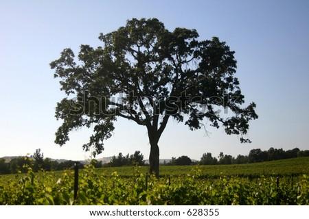 Oak tree in a vineyard