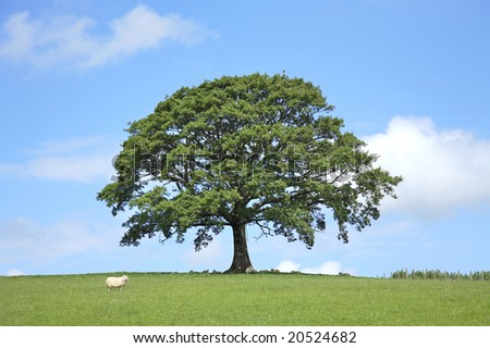 Oak tree in full leaf in a field in Spring with sheep sheltering under the branches. Set against a blue sky with clouds.