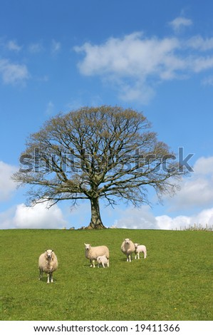 Oak tree in spring with sheep and lambs grazing in a field with a blue sky and clouds to the rear.