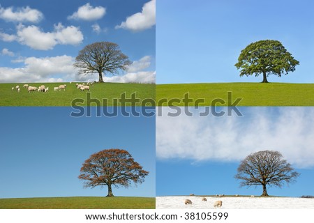 Oak tree in the four seasons, spring, summer, autumn and winter, showing a time lapse of the annual cycle.