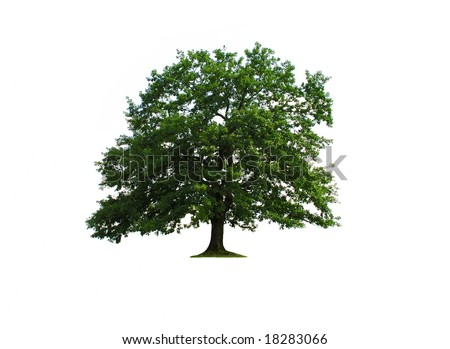 Oak tree isolated