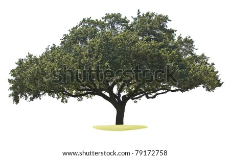 Oak tree isolated on white