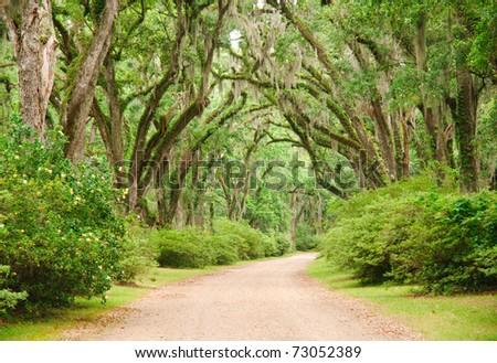 oak tree lined road