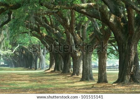Oak tree lined road at Boone Hall Plantation, Charleston, South Carolina