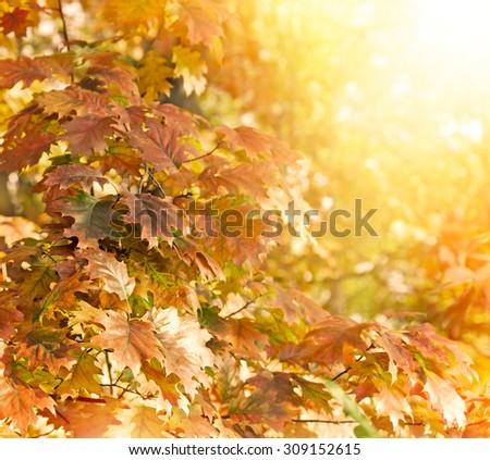 Oak tree - oak leaves lit by sunlight
