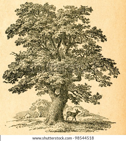 Oak tree -  old illustration by unknown artist from Botanika Szkolna na Klasy Nizsze, author Jozef Rostafinski, published by W.L. Anczyc, Krakow and Warsaw, 1911