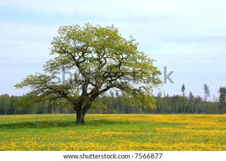 Oak tree on the Dandelion field