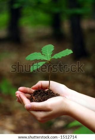 Oak tree sapling - holding in hands.
