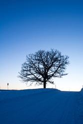 Oak tree stands on a hill at sunset in winter