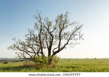 Oak tree that grows alone like bush in protected area of Yamskaya Steppe, Belgorod region in southern Russia