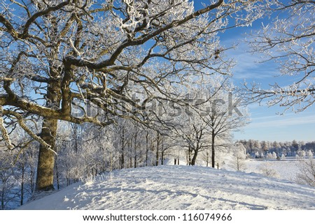 Oak tree with frost in winter landscape