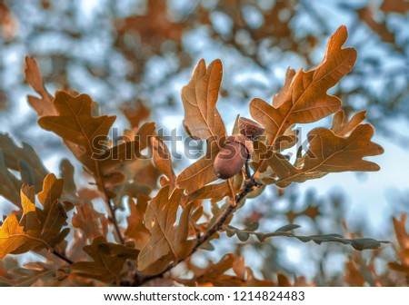 Oak tree with ripe acorns. Sunny autumn day. Close up image of brown acorns. Shallow depth of filed.