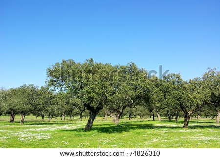 Oak trees at Extremadura region.