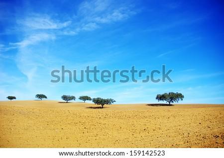 Oak trees in dry field, Alentejo, Portugal