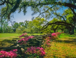 Oak trees with their low hanging branches surround an azalea filled split rail fence in South Carolina. The pinks and greens are brilliant in the sun.