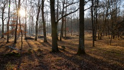 Oak undergrowth in a wild forest in northern France. Sunny winter morning. Sunrise and bright golden light drawing the tree trunks and yellow grasses. Shadows of trees on the ground.