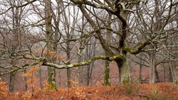 Oak with spreading branches in a wild forest in France. Trunks and bare branches in winter. Undergrowth of red ferns and winter mist. Wild forest and the cold and austere atmosphere of a gray January