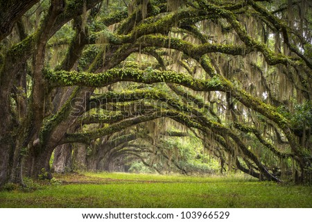 Oaks Avenue Charleston SC plantation Live Oak trees forest landscape in ACE Basin South Carolina lowcountry #103966529