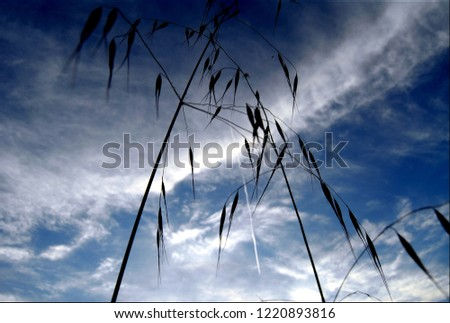 oat branches extending to blue Stok fotoğraf ©