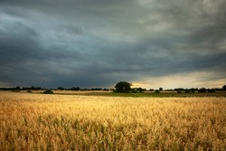 Oat field and dark storm clouds on sky