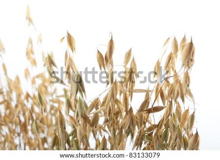 Oat isolated on white background - stock photo