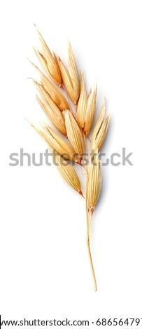 Oat plant isolated on white isolated closeup . Stock photo ©