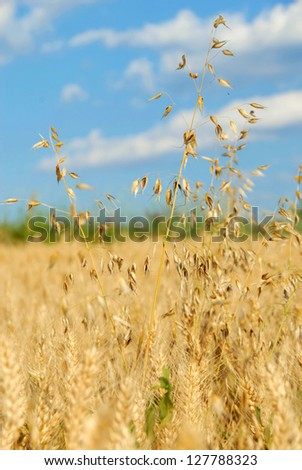 oat plant over yellow wheat field summer background